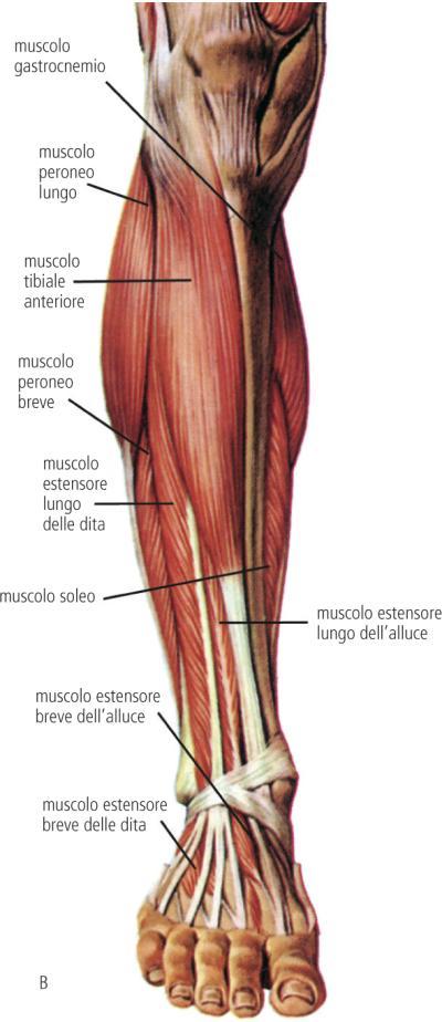 Muscoli gamba cliccascienze for Muscolo interno coscia nome