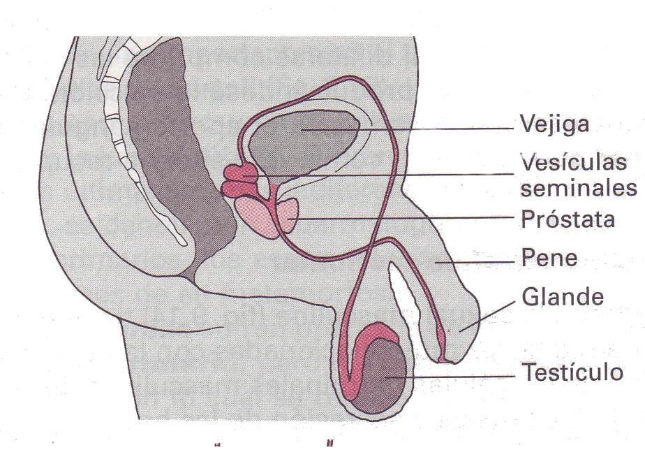 Anatomìa y Fisiologìa del Aparato Reproductor Masculino - Cliccascienze